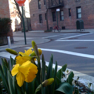 photo of the day - daffodils!